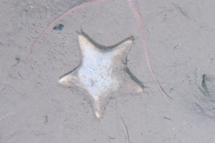 Ctenodiscus crispatus on sea bed