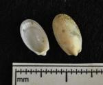 Limatula subauriculata, author: Gascon, Sarah