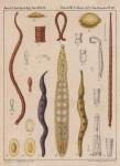 Van Beneden & Hesse (1864, pl. 03)