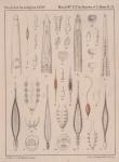 Van Beneden, P.-J.; Hesse, C.E. (1864). Recherches sur les Bdellodes (Hirudinées) et les Trématodes marins Mém. Acad. R. Sci. Lett. B.-Arts Belg., Collect. 4 34: 1-149, plates I-XV