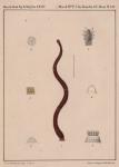 Van Beneden & Hesse (1864, pl. 14)