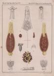 Van Beneden & Hesse (1864, pl. 01, bijlage)