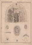 Van Beneden & Hesse (1864, pl. 02, bijlage)