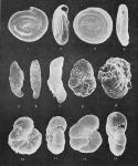 Foraminifera - Plate 2 - Ammodiscidae, Lituolidae