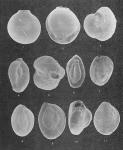 Foraminifera - Plate 10 - Miliolidae