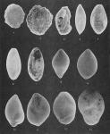 Foraminifera - Plate 12 - Miliolidae, Nodosariidae, Glandulinidae, Polymorphinidae, Buliminidae, Rzehakinidae