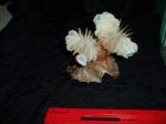Desmophyllum dianthus