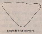 Van Beneden, P.-J. (1870). Mémoire sur une Balénoptère capturée dans l'Escaut en 1869 Mém. Acad. R. Sci. Lett. B.-Arts Belg., Collect. 4 XXXVIII: 1-36, plates I-II