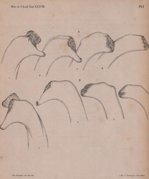 Van Beneden (1870, pl. 1)