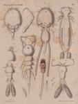 Van Beneden, P.-J. (1871). Les poissons des côtes de Belgique, leurs parasites et leurs commensaux Mém. Acad. R. Sci. Lett. B.-Arts Belg., Collect. 4 XXXVIII: 1-100, plates I-VI