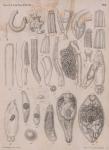 &lt;B&gt;Van Beneden, P.-J.&lt;/B&gt; (1871). Les poissons des côtes de Belgique, leurs parasites et leurs commensaux <i>Mém. Acad. R. Sci. Lett. B.-Arts Belg., Collect. 4 XXXVIII</i>: 1-100, plates I-VI