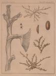 Van Beneden, P.-J. (1848). Recherches sur les Bryozoaires fluviatiles de Belgique Mém. Acad. R. Sci. Lett. B.-Arts Belg., Collect. 4 XXI: 1-37, plate I-II