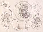 <B>Van Beneden, E.; Julin, Ch.</B> (1889). Recherches sur la morphologie des Tuniciers. I. Vanderpoorten: Gent. 1-240, 14 plates pp.