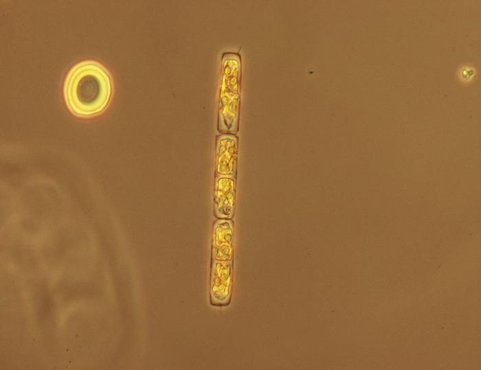 Guinardia delicatula