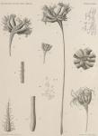 Jungersen, H.F.E. (1907). Zoologie: Pennatuliden. Résultats du Voyage du S.Y. Belgica en 1897-1898-1899 sous le commandement de A. de Gerlache de Gomery: Rapports Scientifiques (1901-1913). Buschmann: Anvers, Belgium. 10, I plate pp.