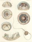 &lt;B&gt;Maas, O.&lt;/B&gt; (1906). Zoologie: Medusen. <i>Résultats du Voyage du S.Y. <i>Belgica</i> en 1897-1898-1899 sous le commandement de A. de Gerlache de Gomery: Rapports Scientifiques (1901-1913)</i>. Buschmann: Anvers, Belgium. 30, III plates pp.
