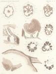 Maas, O. (1906). Zoologie: Medusen. Résultats du Voyage du S.Y. Belgica en 1897-1898-1899 sous le commandement de A. de Gerlache de Gomery: Rapports Scientifiques (1901-1913). Buschmann: Anvers, Belgium. 30, III plates pp.