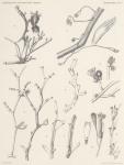 Hartlaub, Cl. (1904). Zoologie: Hydroiden. Résultats du Voyage du S.Y. Belgica en 1897-1898-1899 sous le commandement de A. de Gerlache de Gomery: Rapports Scientifiques (1901-1913). Buschmann: Anvers, Belgium. 19, IV plates pp.