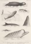 Racovitza, E.G. (1903). Zoologie: Cétacés. Résultats du Voyage du S.Y. Belgica en 1897-1898-1899 sous le commandement de A. de Gerlache de Gomery: Rapports Scientifiques (1901-1913). Buschmann: Anvers, Belgium. 140, IV plates pp.