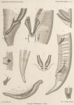 &lt;B&gt;de Man, J.G.&lt;/B&gt; (1904). Zoologie: Nématodes libres. <i>Résultats du Voyage du S.Y. <i>Belgica</i> en 1897-1898-1899 sous le commandement de A. de Gerlache de Gomery: Rapports Scientifiques (1901-1913)</i>. Buschmann: Anvers. 51, XI plates pp.