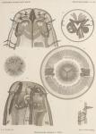 de Man, J.G. (1904). Zoologie: Nématodes libres. Résultats du Voyage du S.Y. Belgica en 1897-1898-1899 sous le commandement de A. de Gerlache de Gomery: Rapports Scientifiques (1901-1913). Buschmann: Anvers. 51, XI plates pp.