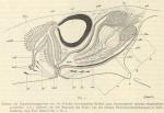 Böhmig, L. (1908). Zoologie: Turbellarien. Résultats du Voyage du S.Y. Belgica en 1897-1898-1899 sous le commandement de A. de Gerlache de Gomery: Rapports Scientifiques (1901-1913). Buschmann: Anvers, Belgium. 32, II plates + loose c