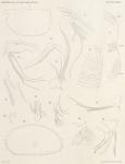 Müller, G.W. (1906). Zoologie: Ostracoden. Résultats du Voyage du S.Y. Belgica en 1897-1898-1899 sous le commandement de A. de Gerlache de Gomery: Rapports Scientifiques (1901-1913). Buschmann: Anvers, Belgium. 7, I plate pp.