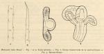 Cernosvitov, L. (1935). Zoologie: Oligochètes. Résultats du Voyage de la Belgica en 1897-1899 sous le commandement de A. de Gerlache de Gomery: Rapports Scientifiques (1926-1940). Buschmann: Anvers, Belgium. 11 pp.