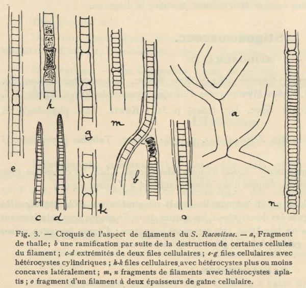 De Wildeman (1935, fig. 03)