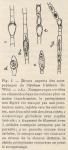 De Wildeman (1935, fig. 05)