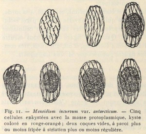 De Wildeman (1935, fig. 11)