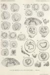 Van Beneden, E.; de Selys Longchamps, M. (1940). Zoologie: Tuniciers, embryogénèse. Résultats du Voyage de la Belgica en 1897-1899 sous le commandement de A. de Gerlache de Gomery: Rapports Scientifiques (1926-1940). Buschmann: Anvers