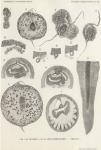 Van Beneden, de Selys Longchamps (1940, pl. 12)