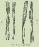 Huwart (1905, fig. D)