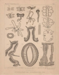 Van Beneden (1897, pl. 01)