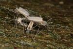 Telmatogeton japonicus