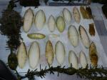 schelpen van Sepia soorten