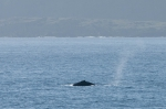 Humpback whale - dorsal fin, author: Noz�res, Claude