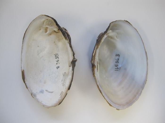 Lampsilis cariosa
