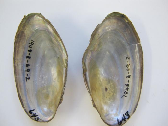 Pyganodon cataracta