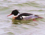 Red-breasted Merganser (Mergus serrator)