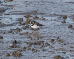 Ringed plover (Charadrius hiaticula)