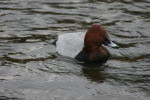 Pochard (Aythya ferina)