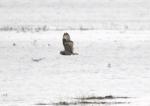 Short-eared Owl (Asio flammeus), author: Lowry, Roy