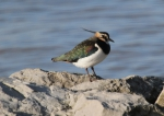 Lapwing (Vanellus vanellus)