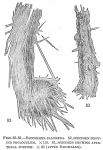 Saccorhiza calcilega, author: Cedhagen, Tomas