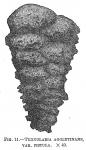 Textularia agglutinans fistula, author: Cedhagen, Tomas