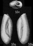 Triloculina oblonga, author: Cedhagen, Tomas