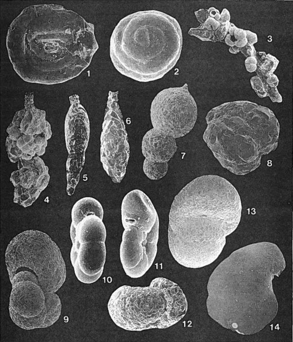Forams -Plate 4- (Newfoundland)