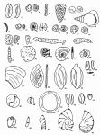 Forams -Plate 17- (Newfoundland), author: Cole, F.E.